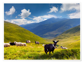 Poster Premium  Herd of sheep and goats in the mountains