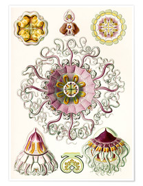 Poster Premium  Crown quill, periphylla periphylla - Ernst Haeckel