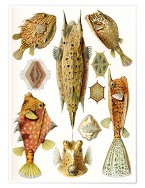 Poster Premium  Ostraciontes cowfish species - Ernst Haeckel