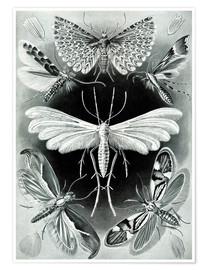 Poster  Chart of moths - Ernst Haeckel
