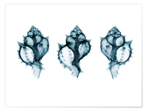 Poster Premium Shells, coloured X-ray