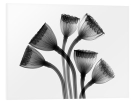 Schiuma dura  Lotus seedheads, X-ray