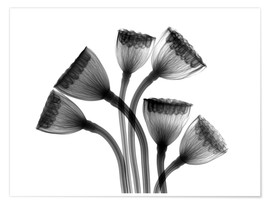 Poster  Lotus seedheads, X-ray