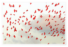 Poster  Scarlet ibis (Eudocimus ruber) flock in flight