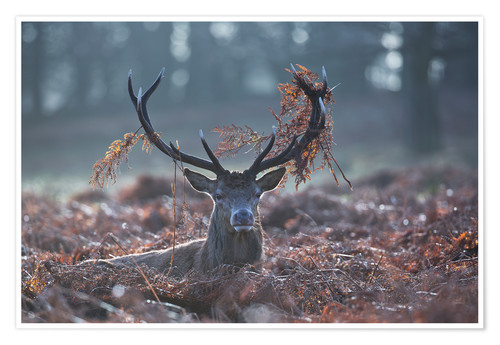 Poster Premium Deer stag in the brushwood