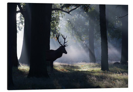 Stampa su alluminio  Stag in the morning light - Alex Saberi