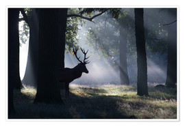 Poster Premium Stag in the morning light