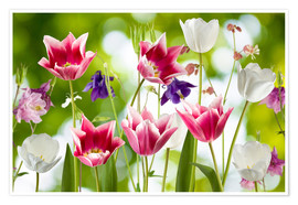 Poster  Tulips and columbine flowers
