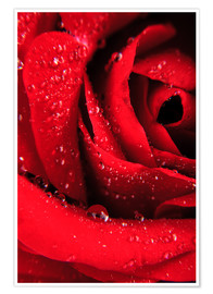 Poster Premium  Red rose with water drops