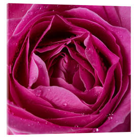 Vetro acrilico  Pink rose with water drops