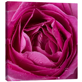 Tela  Pink rose with water drops
