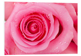 Forex  Pink rose blossom with dew