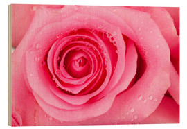 Legno  Pink rose blossom with dew