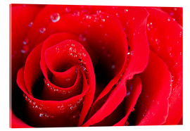 Stampa su vetro acrilico  Red rose bloom with dew drops
