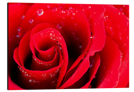 Alluminio Dibond  Red rose bloom with dew drops