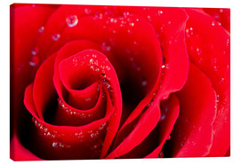 Stampa su tela  Red rose bloom with dew drops