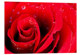 Forex  Red rose bloom with dew drops