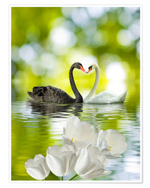 Poster Premium  Two swans in love