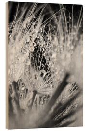 Stampa su legno  Dandelion with water drops