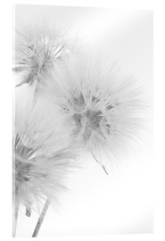 Stampa su vetro acrilico  Fluffy dandelions on white background
