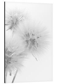 Alluminio Dibond  Fluffy dandelions on white background