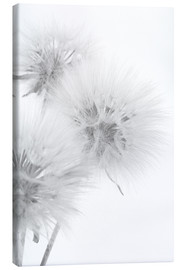Tela  Fluffy dandelions on white background