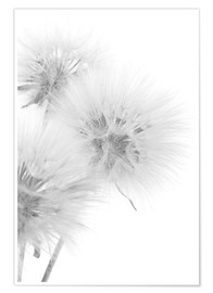 Poster Premium  Fluffy dandelions on white background