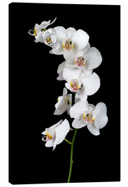 Tela  White orchid on a black background