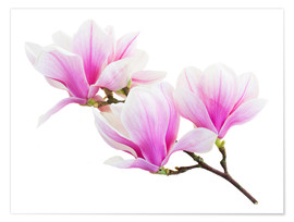 Poster  Branch of pink magnolia