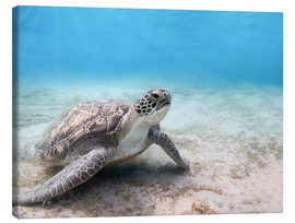 Tela  Green sea turtle