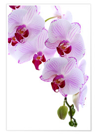 Poster Premium  Orchid branch