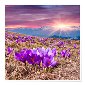 Poster Premium Crocuses in spring in the mountains