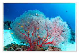Poster Premium  Melithaea sea fan and lyretail anthias