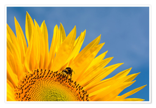 Poster Premium Sunflower against blue sky