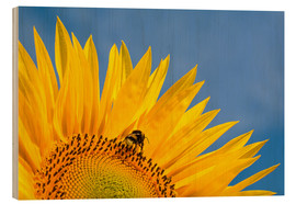 Legno  Sunflower against blue sky - Edith Albuschat
