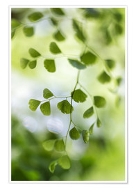 Poster  Maidenhair fern - Mandy Disher