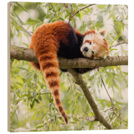Legno  Red Panda resting in a tree
