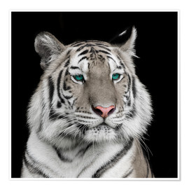 Poster Premium  Sumatran tiger with turquoise eyes