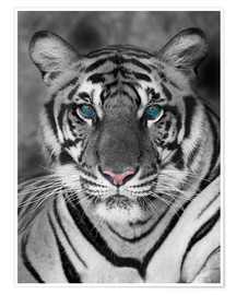 Poster Premium  Tiger portrait with color accents