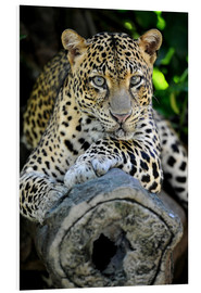Forex  African Leopard