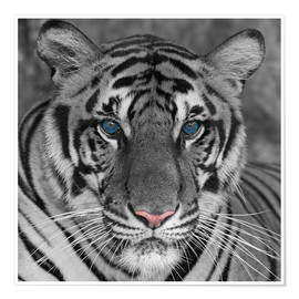 Poster Premium  Tiger with color accents