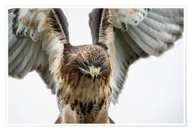 Poster Premium  Red-tailed hawk (Buteo jamaicensis), bird of prey, England, United Kingdom, Europe - Janette Hill