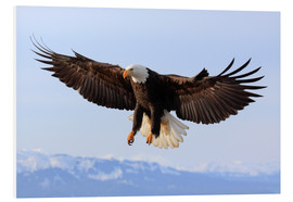 Patrick Frischknecht - Bald eagle, Alaska, United States of America, North America