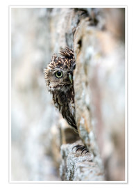 Poster Premium  Little owl (Athene noctua) perched in stone barn, captive, United Kingdom, Europe - Ann & Steve Toon