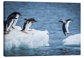 Stampa su tela  Adelie penguins (Pygoscelis adeliae) diving between two ice floes, Antarctica - Nick Dale