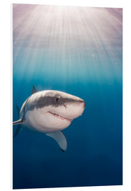 Forex  Great white shark - Dave Fleetham