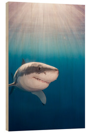 Legno  Great white shark - Dave Fleetham