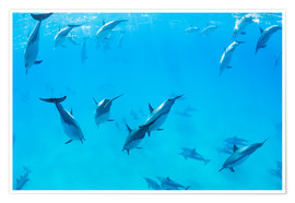Poster Premium Dolphins Swimming in the Ocean, Amazing Underwater View