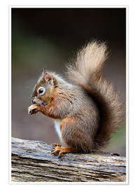 Poster Premium  Red squirrel grooming - Colin Varndell