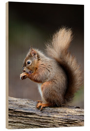 Stampa su legno  Red squirrel grooming - Colin Varndell